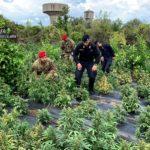 I carabinieri di Rizziconi sequestrano 2500 piante di marjiuana, arrestati tre soggetti